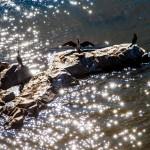 Llegaron los cormoranes al Guadiana. oto