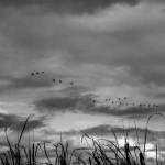 Las grullas siguen fieles al invierno extremeño. pkp